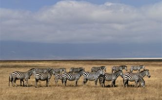Wonderful sight to see Zebras in line