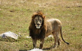 Stunning Lion Posing..