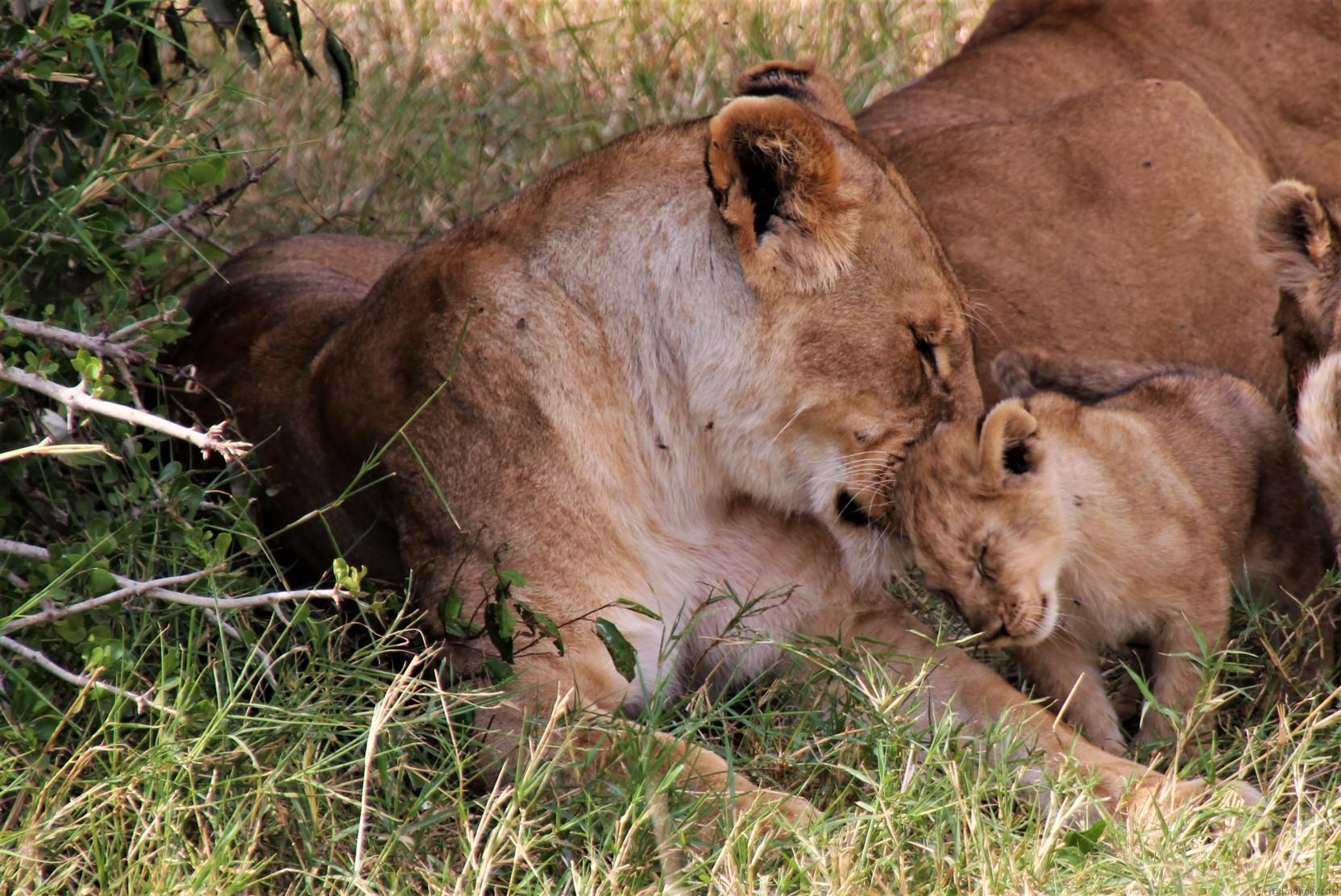 Lions and Cubs bonding time