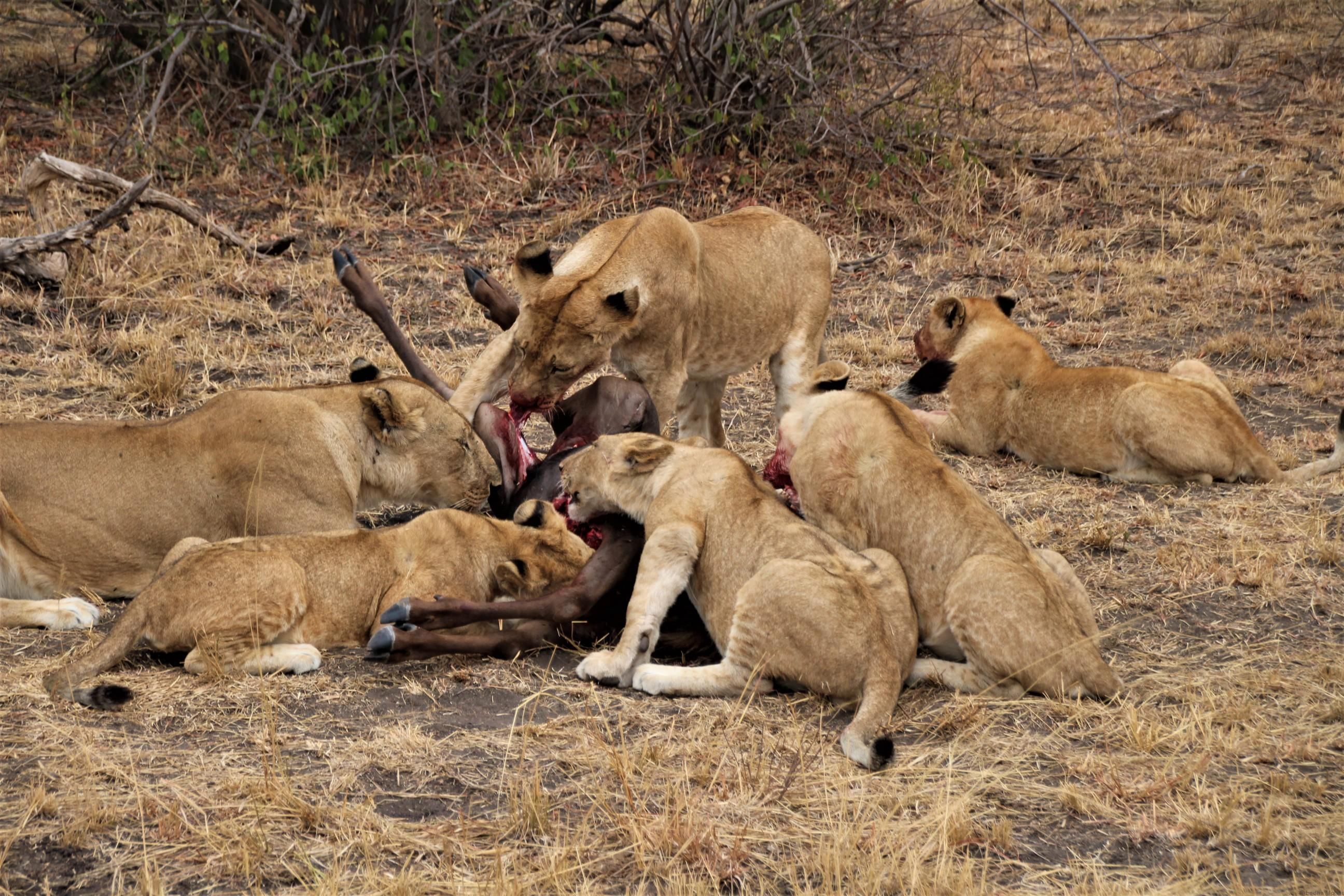 Wildebeest Kill - Lions and Cubs eating their meal