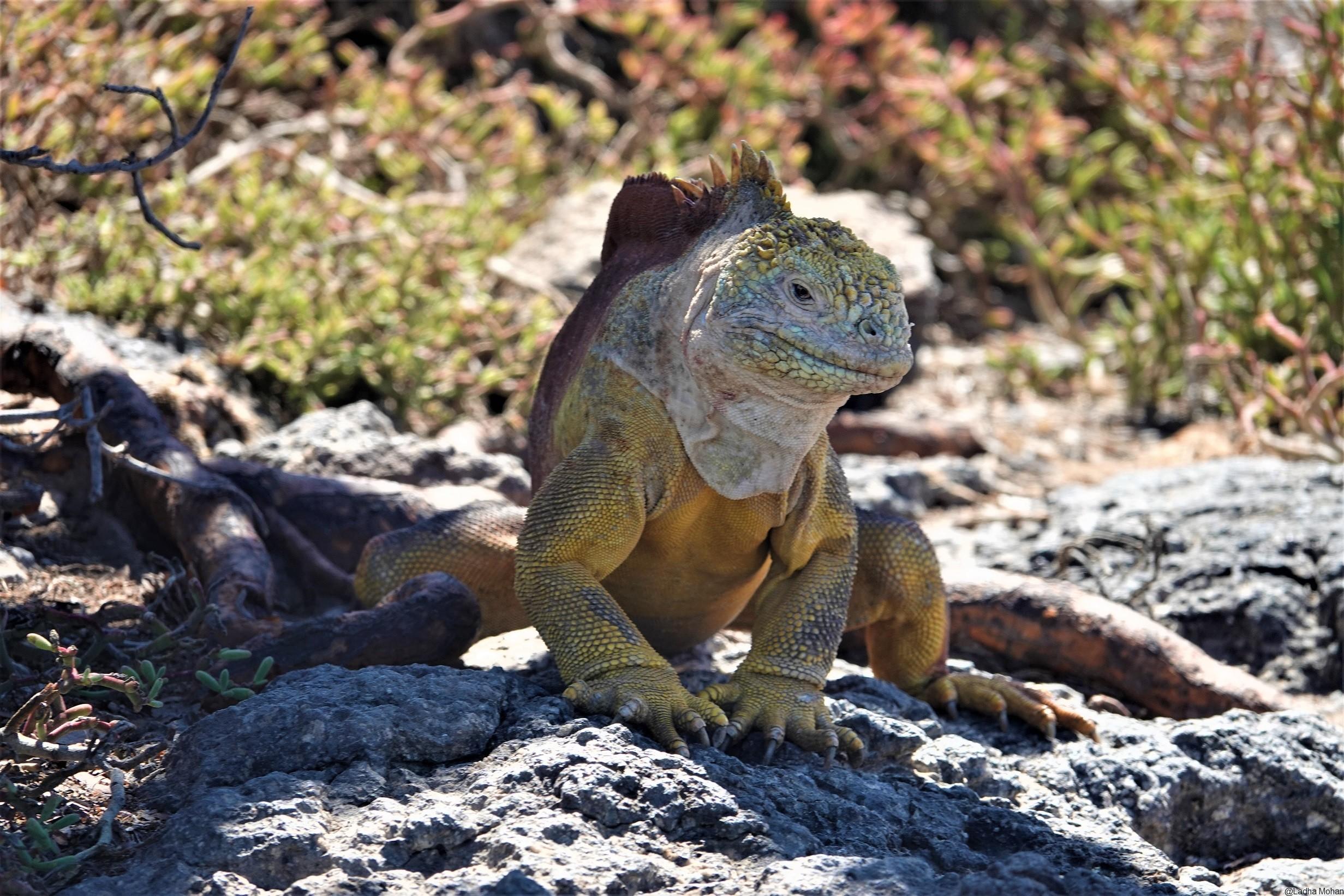 Lang Iguanas