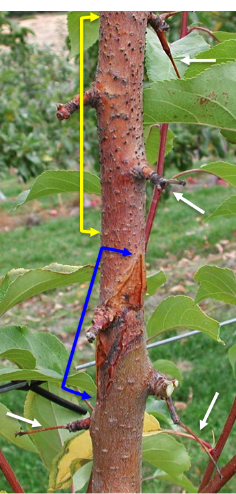 'Manchirian crabapple tree showing signs of twig dieback (white arrows), canker (between blue arrows), and black fruiting bodies (between yellow arrows). Photo: R. Kim, Pace International.