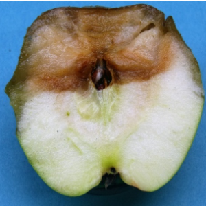 Cross section of blue mold lesion on a Granny Smith apple showing a sharp margin between decayed and healthy tissue.