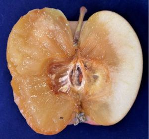 Internal view of a Fuji apple tissue infected by gray mold. Note the irregular margin and decayed tissue does not separate from healthy tissue.