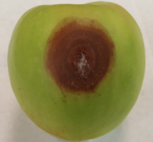 Gray mold originating from side wound infection of a Granny Smith.