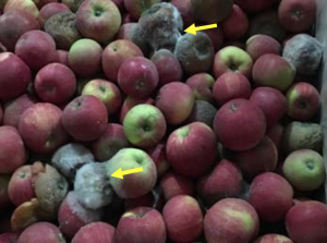 Nesting of gray mold due to fruit-to fruit spread on Honeycrisp in storage. Notice white to gray mycelium.