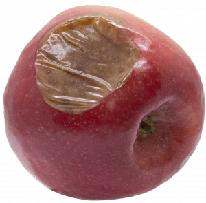 Mucor rot on the side of a Pink Lady apple.