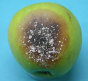 Early speck rot infection developing on Granny Smith under high humidity.