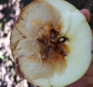Internal view of a rare speck rot infection on Fuji in an orchards in the Pacifc Northwest after a heavy rain.