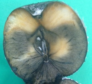Cross-section of a speck rot lesion showing black coloration of the internal flesh of a Granny Smith apple.
