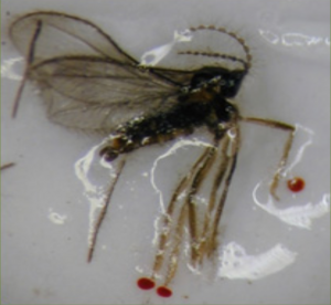 Adult male midge laying sideways in a sticky trap. The red dots can be seen at the ends of the legs.