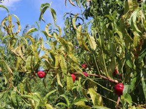 X-disease phytoplasma in Nectarine. Photo credit Tianna DuPont, WSU Extension.