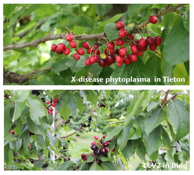 X-disease phytoplasma in Tieton and Little cherry virus 2 in Bing