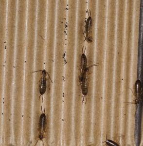 Several earwigs on the inside of a corrugated cardboard tube when opened.