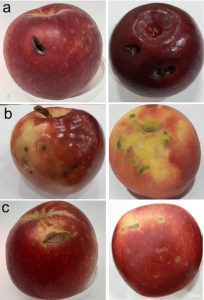 six examples of WA38 fruit showing examples of the most common defects.