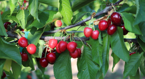 cherry branch with ripe cherry clusters with some smaller and under colored fruit.