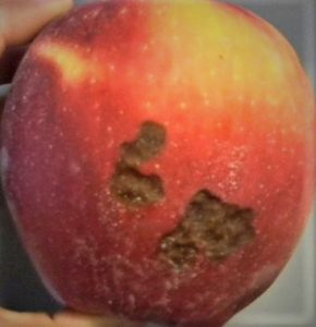side of apple showing two areas with brown sunken irregular shaped patches.