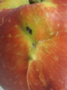close up of an irregular area on the fruit shoulder with a slight bulge and a Y-shaped depressed lower margin with under pigmented skin, tail of Y extends down the side of the fruit.