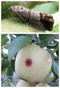Split image showing an adult moth sitting on a young fruitlet at the top nd the characteristic wormhole surrounded by a red pigmented area on a Golden Delicious fruit.