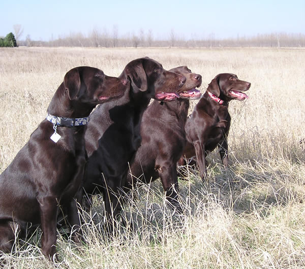 Chocolate_Labrador_Retrievers