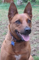 Alli, an Australian cattle dog mix, attentive and sitting down on the ground