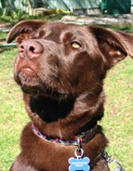 Ally, a chocolate Labrador mix, sitting outside in the sun and looking upwards