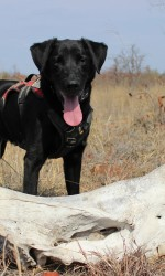 Black Lab with his tongue out stands over a skull in a dry grassy field.