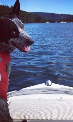 Grey and black cattle dog sits on bow of boat looking back at camera