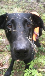 Black lab standing in forest with dry grass all over his face