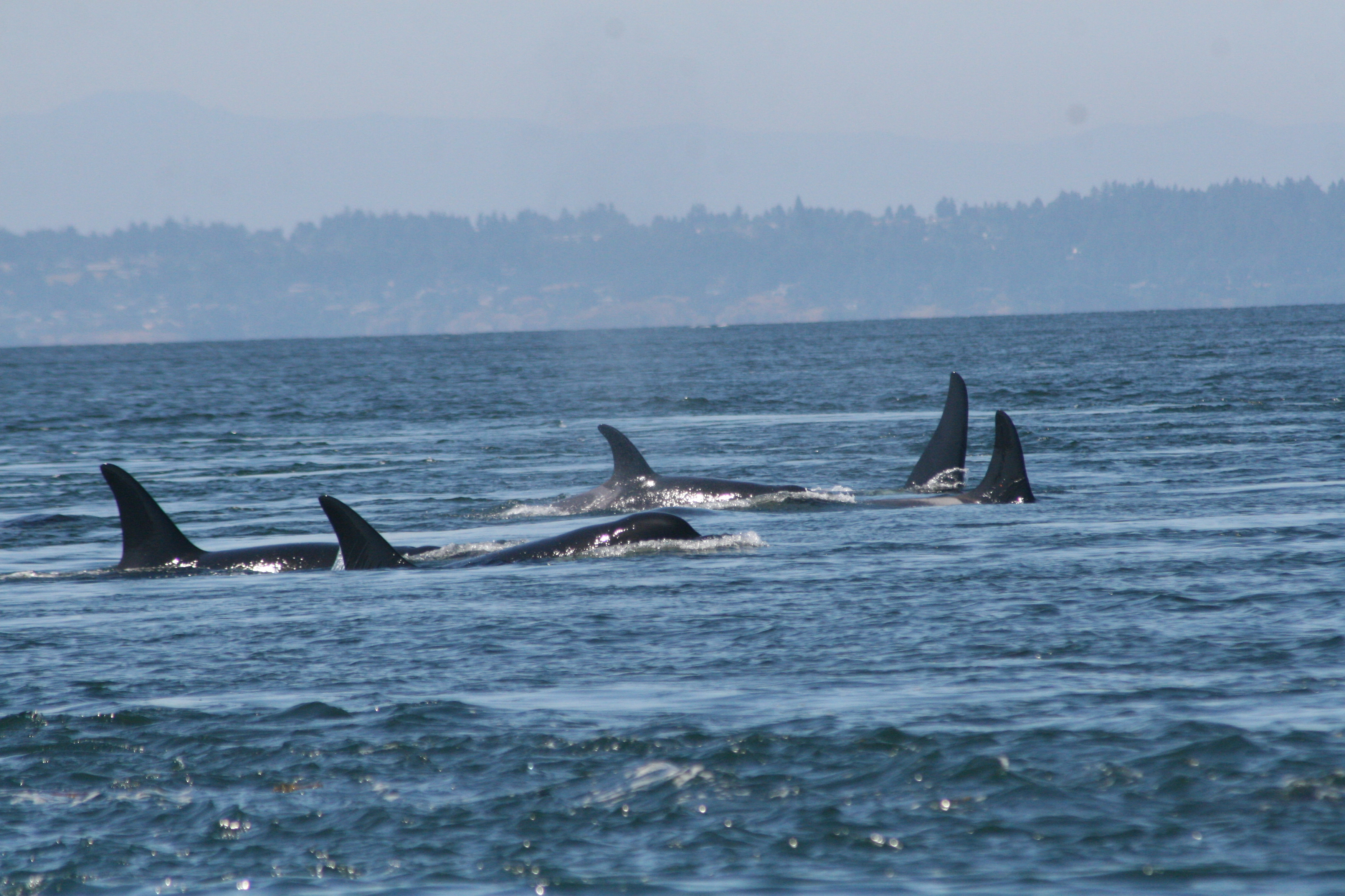 killer whales swimming parallel to each other in the water