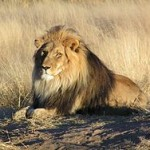 male lion laying on the savannah