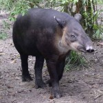 Close up of tapir walking