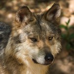 Close up of the face of a Mexican grey wolf