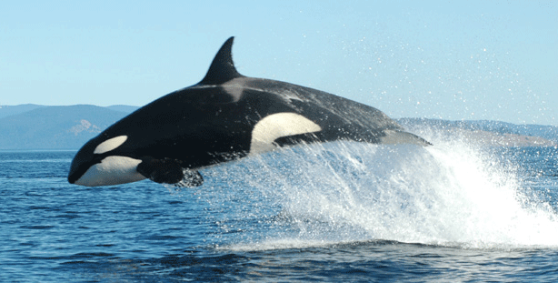 Killer whale jumping out of ocean water