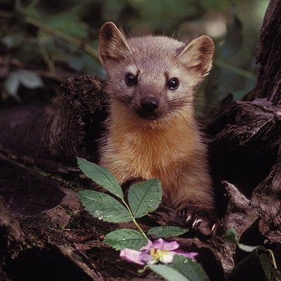 pine marten with a small flower in the woods
