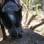 blue heeler on log by fisher scat