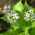 clusters of little while flowers with jagged leaves