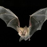 bat in mid flight with long ears