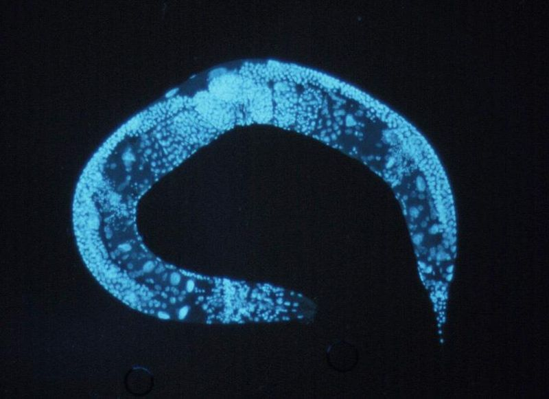 An adult roundworm, magnified many times.