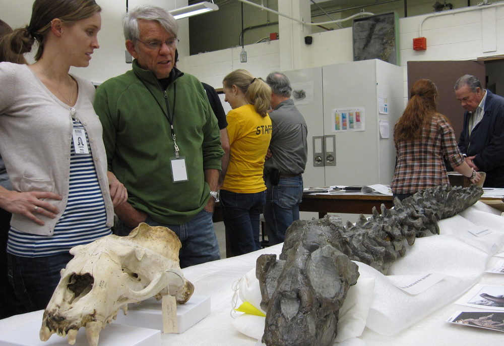 Paleontology volunteers Lauren Berg, left, and Gary Livingston show off fossils from the Burke Museum's collection. At right is the fossilized skeleton of a 10 million-year-old sea lion. | Photo by Peter Kelley.