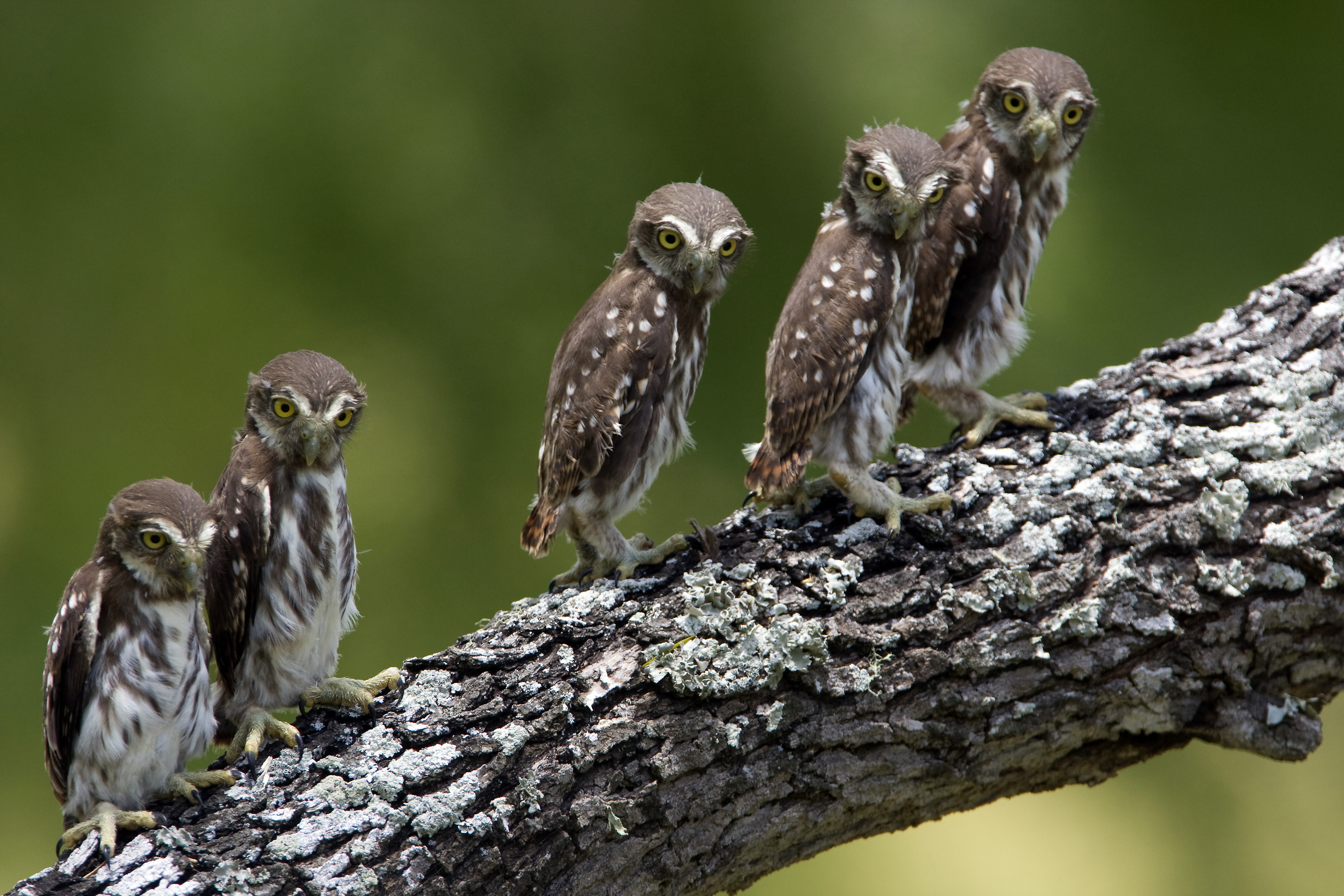Ferruginous Pygmy-Owl chicks await their return to the nest box after being banded and weighed as part of a long-term research project.