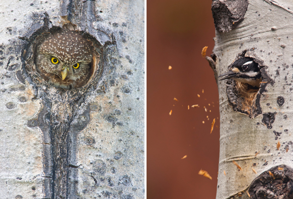 At left, a female Northern Pygmy-Owl pops out from the depths of her cavity to trade calls with her mate outside. At right, Hairy Woodpecker excavates a cavity in a quaking aspen tree that will later become home to an owl.