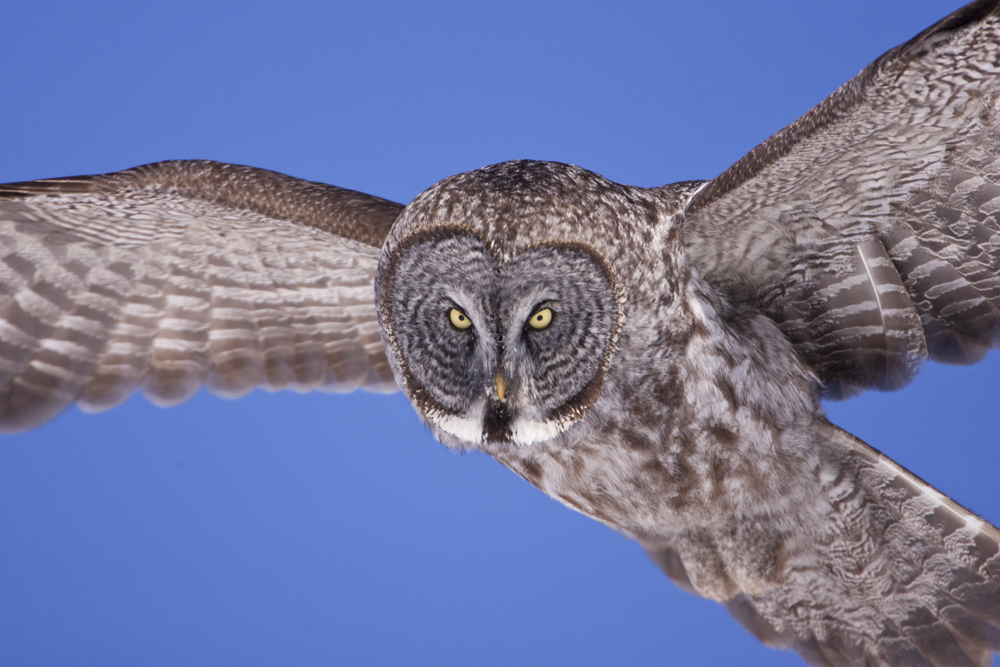 A Great Gray Owl flies within inches of Paul Bannick's camera without making a sound.