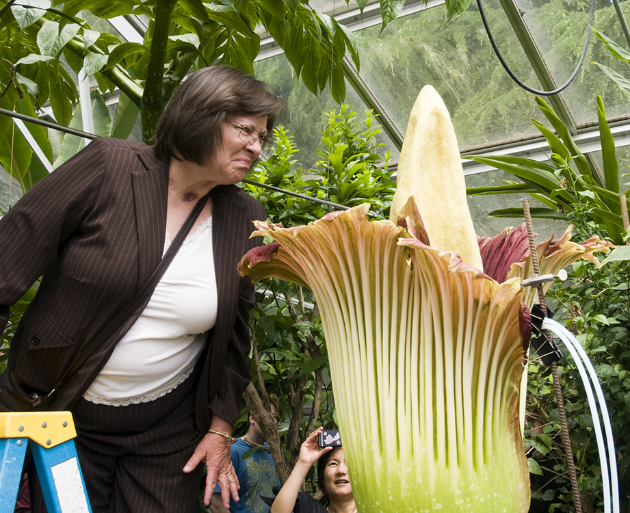 A visitor to the UW Botany Greenhouse on Thursday gets a good whiff of the Amorphophallus titanum, otherwise known as the corpse flower. The foul odor it's known for had dissipated some by Thursday noon, but not completely.