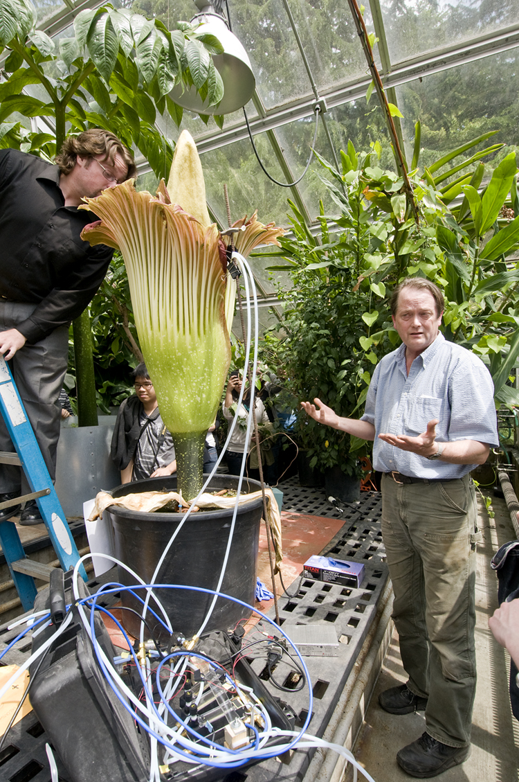 People lined up Thursday to get a look and a whiff of the blooming corpse flower at the UW Botany Greenhouse. At right is Doug Ewing, greenhouse manager. At left, a visitor samples the then-fading foul aroma of Amorphophallus titanum.