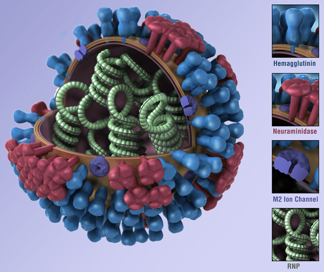A model of a flu virus shows its various components.