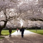 Pedestrians walk under cherry trees in full bloom
