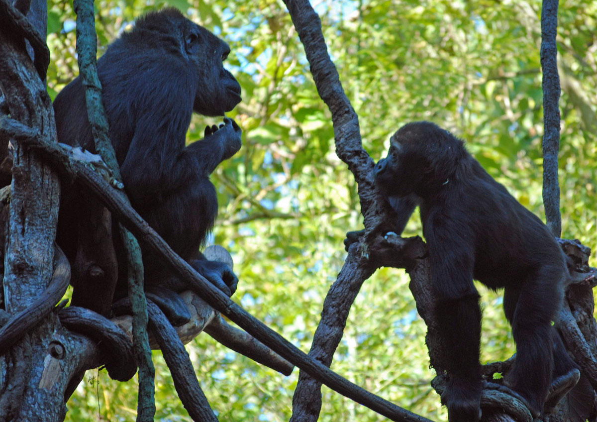 Two young gorillas at play. Understanding the biology of this endangered species may help protect future generations.