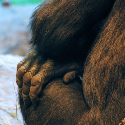 Gorillas have a gene to make a protein for the leathery texture of their knuckle pads. Gorillas often drag their knuckles when they walk.