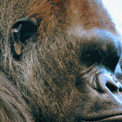 The external gorilla ear not only resembles the human ear, but the genes for hearing perception also show similarities.